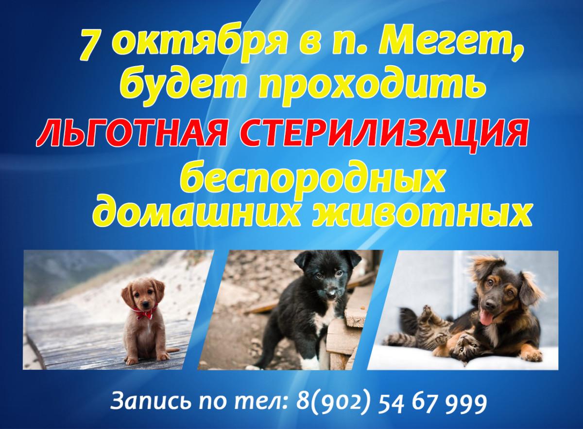 7 октября в п. Мегет будет проходить льготная стерилизация беспородных домашних животных запись по телефону.