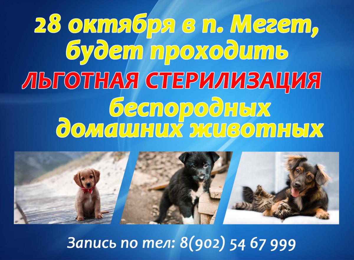 28 октября в п. Мегет будет проходить льготная стерилизация беспородных домашних животных запись по телефону.